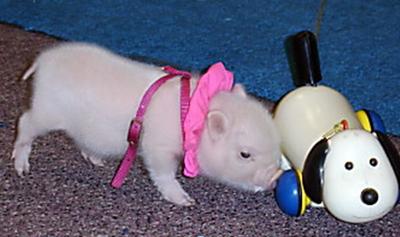 出生不久的小猪和玩具在一起,既萌又和谐。